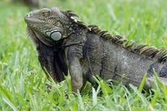 Iguana verde, Aruba, islas de ABC Imagen de archivo libre de regalías