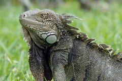 Iguana verde, Aruba, islas de ABC Fotografía de archivo