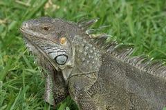 Iguana verde, Aruba, islas de ABC Fotos de archivo