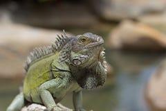 Iguana verde che bagna al sole, Aruba Fotografia Stock Libera da Diritti