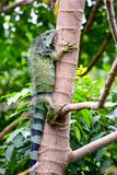 Iguana verde che scala un albero fotografia stock