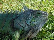 Iguana verde che si mescola nell'erba Immagini Stock Libere da Diritti
