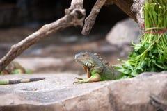 Iguana verde che si siede ancora sulla terra rocciosa Fotografie Stock