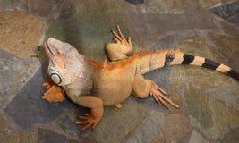Iguana verde coloreada rojiza imagenes de archivo