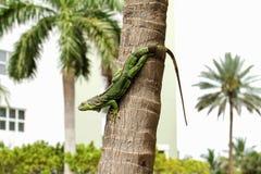 Iguana verde común Imágenes de archivo libres de regalías
