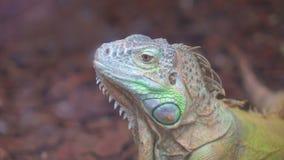Iguana verde comune video d archivio