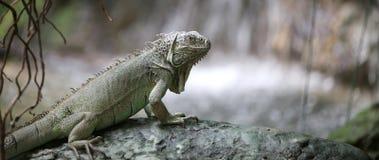 Iguana verde con pelle squamosa vicino allo stagno nella foresta Fotografia Stock