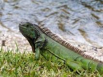 Iguana verde dal lago Fotografia Stock Libera da Diritti