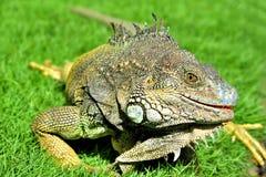 Iguana verde de IguanaIguana Imagem de Stock
