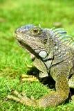 Iguana verde de IguanaIguana Foto de Stock Royalty Free