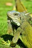 Iguana verde de IguanaIguana Fotos de Stock