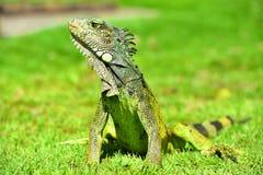 Iguana verde de IguanaIguana Foto de Stock