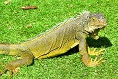 Iguana verde de IguanaIguana Imagens de Stock Royalty Free