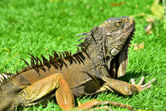 Iguana verde de IguanaIguana Fotos de Stock Royalty Free