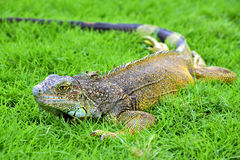 Iguana verde de IguanaIguana Fotografia de Stock Royalty Free