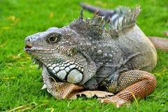 Iguana verde de IguanaIguana Fotografia de Stock