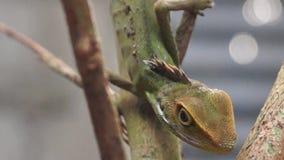 Iguana verde, iguana de la iguana metrajes