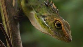 Iguana verde, iguana de la iguana almacen de video