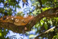 Iguana verde de la iguana de la iguana foto de archivo