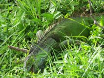 Iguana verde de la iguana o de la iguana imagen de archivo libre de regalías