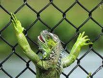 Iguana verde de la iguana o de la iguana Imagen de archivo
