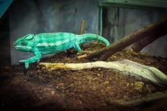 Iguana verde in Di Genova, Italia di acquario immagini stock libere da diritti