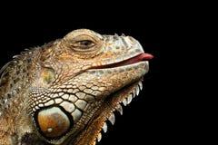 Iguana verde do close-up no fundo preto Foto de Stock