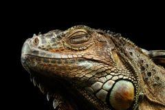 Iguana verde do close up no fundo preto Fotos de Stock Royalty Free