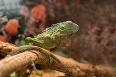 Iguana verde em um fundo marrom Fotos de Stock Royalty Free