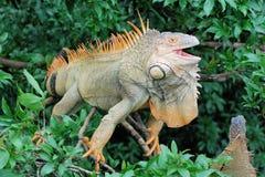 """Iguana verde em uma árvore com bico aberto - grande lagarto - †""""Costa Rica de América Central Fotos de Stock"""