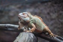 Iguana verde em uma filial Imagens de Stock