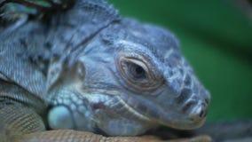 Iguana verde en iguana de la iguana del terrario almacen de video