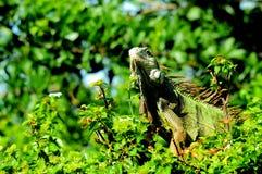 Iguana verde en el parque de la Florida Imágenes de archivo libres de regalías