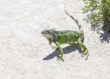 Iguana verde en el salvaje Imágenes de archivo libres de regalías
