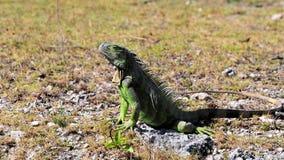 Iguana verde en el Sun Imagenes de archivo