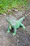 Iguana verde en la tierra Foto de archivo