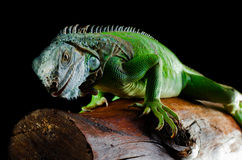 Iguana verde en negro Fotografía de archivo libre de regalías