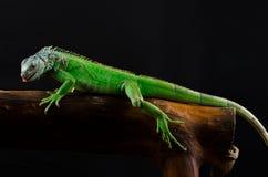 Iguana verde en rama Fotos de archivo