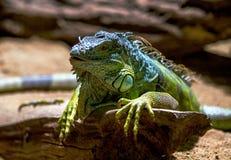 Iguana verde en rama Fotografía de archivo