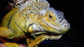 Iguana verde, fim acima Imagem de Stock