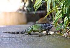 Iguana verde, grande lucertola erbivora Fotografia Stock Libera da Diritti