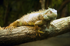 Iguana verde (iguana de la iguana) Fotos de archivo