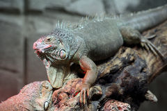 Iguana verde, iguana de la iguana Imagen de archivo