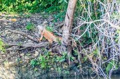 Iguana verde (iguana de la iguana) Fotografía de archivo libre de regalías