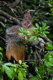Iguana verde - iguana de la iguana Foto de archivo libre de regalías