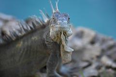 Iguana verde (iguana de la iguana) Imagen de archivo