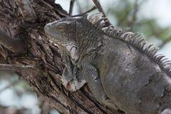 Iguana verde (iguana de la iguana) Imagenes de archivo