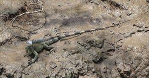 Iguana verde (iguana dell'iguana) Fotografia Stock Libera da Diritti