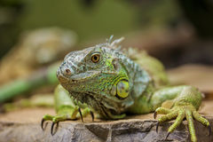 Iguana verde (iguana dell'iguana) Fotografie Stock