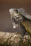 Iguana verde (iguana dell'iguana) Fotografia Stock